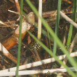 Kopf einer schüchternen Europäischen Sumpfschildkröte